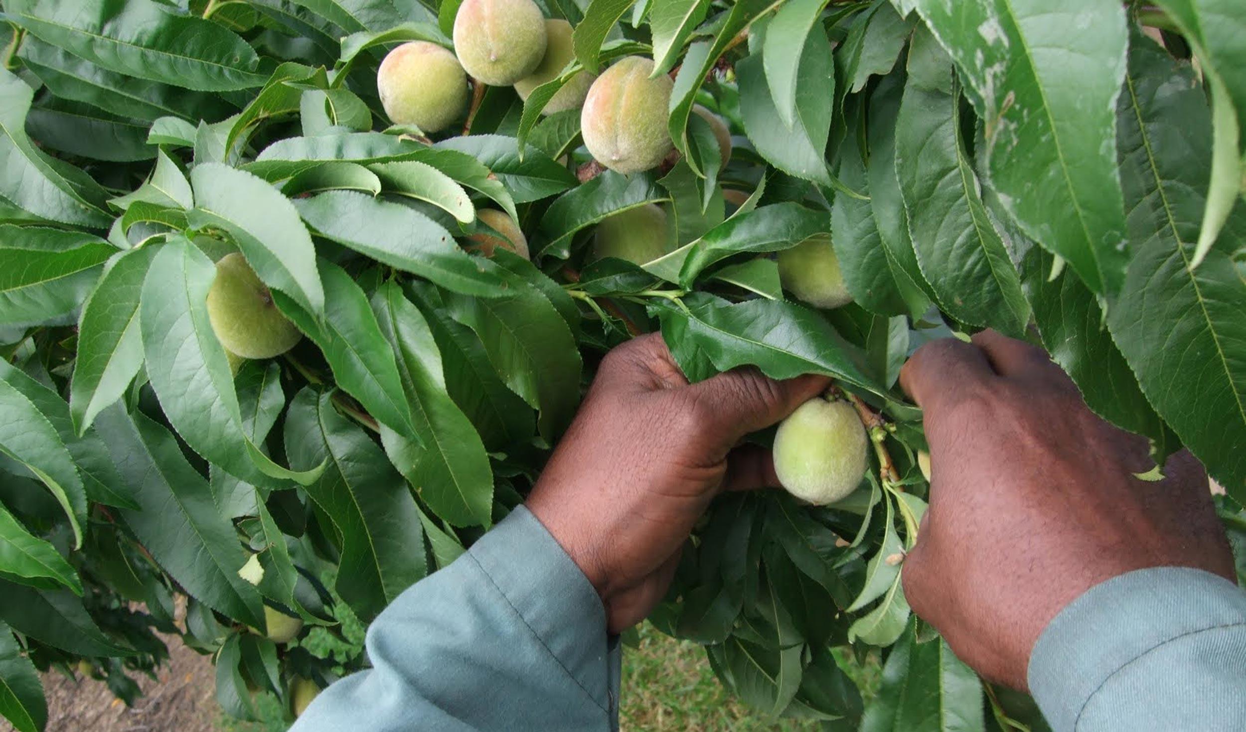 someone picking peaches